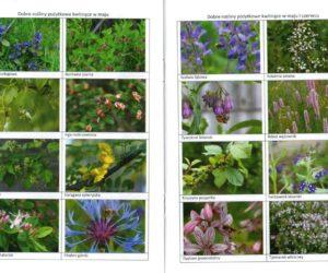Wybrane rośliny miododajne do poprawy pożytków pszczelich